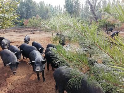 内蒙古自治区呼和浩特市赛罕区藏香猪 60斤以上