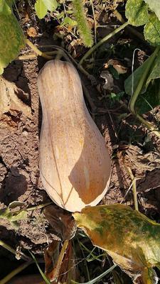贵州省遵义市红花岗区蜜本南瓜 6~10斤 长条形