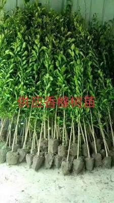陕西省汉中市洋县香橼