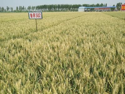 山东省济南市历城区小麦种子