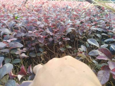 广西壮族自治区桂林市荔浦县黑珍珠红继木