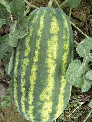 河北省石家庄市新乐市缅甸西瓜 有籽 2茬以上 8成熟 15斤打底