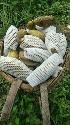 湖南省湘西土家族苗族自治州古丈县麻皮八月瓜 种植 100-120g
