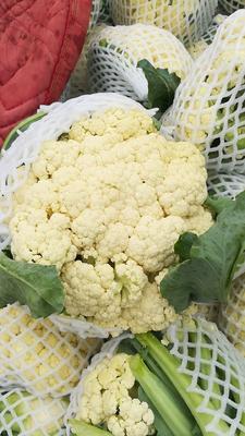 河北省邯郸市广平县白面青梗松花菜 松散 1~2斤 乳白色