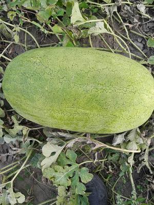 吉林省白城市洮南市新红宝西瓜 有籽 1茬 9成熟 15斤打底
