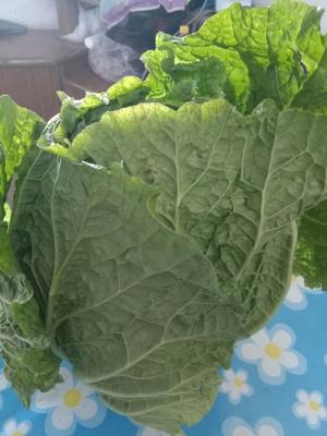 黑龙江省齐齐哈尔市梅里斯达斡尔族区黄心大白菜 3~6斤 毛菜