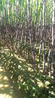 广西壮族自治区玉林市博白县黑皮甘蔗 2 - 2.5m 5 - 6cm