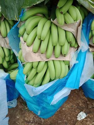 云南省红河哈尼族彝族自治州金平苗族瑶族傣族自治县蛮耗香蕉 七成熟 40斤以下