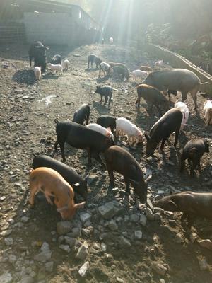 陕西省安康市白河县改良野猪 200-300斤 统货