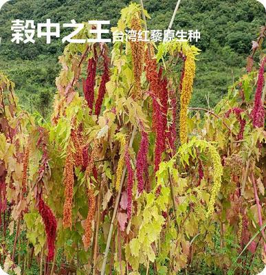 贵州省黔南布依族苗族自治州都匀市台湾红藜麦