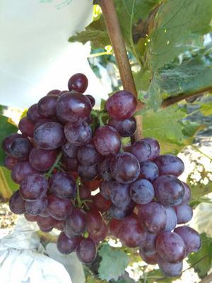 天津宁河县红宝石葡萄 5%以下 1次果 1.5- 2斤