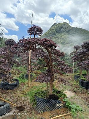 广西壮族自治区桂林市阳朔县造型红继木桩