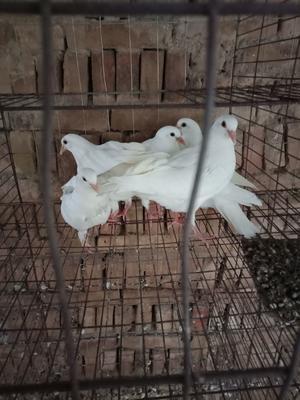 陕西省渭南市蒲城县白羽王鸽 400-500克