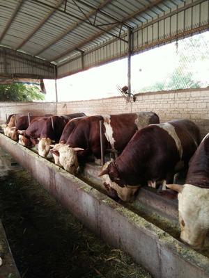 江西省吉安市泰和县西门塔尔牛 1000斤以上 公牛
