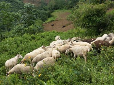 四川省雅安市汉源县羊肉类 生肉