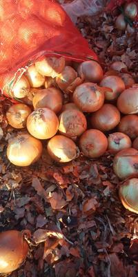 黑龙江省齐齐哈尔市梅里斯达斡尔族区黄皮洋葱 8cm以上 黄皮 4两以上