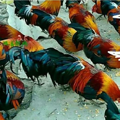 海南省定安县定安县地产山鸡 2-3斤