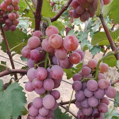 河北省廊坊市安次区巨峰葡萄 5%以下 1次果 0.8-1斤