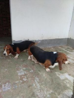 陕西省渭南市白水县巴吉度犬