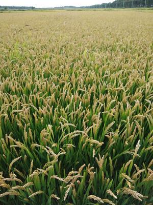 吉林省白城市镇赉县超级稻庆林168 中稻