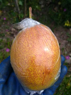 天津蓟县红香酥梨 250-300g 85mm以上