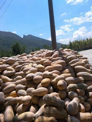 重庆石柱土家族自治县金韩蜜本南瓜 6~10斤 长条形
