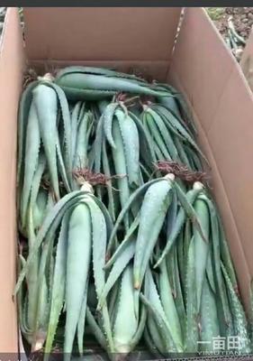 河南省周口市川汇区库拉索芦荟 8~10cm