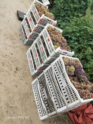 山东省枣庄市山亭区巨峰葡萄 5%以下 1次果 1-1.5斤