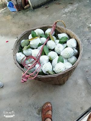 广西壮族自治区钦州市浦北县珍珠番石榴 200-250克