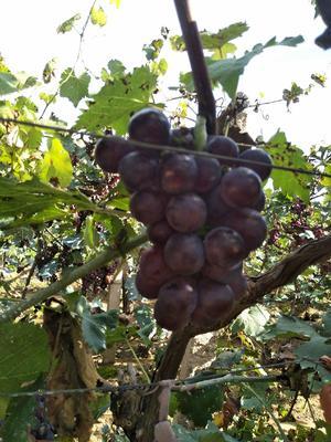 辽宁省葫芦岛市绥中县巨峰葡萄 5%以下 1次果 1-1.5斤