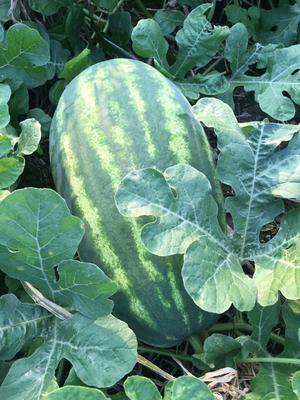 广西壮族自治区桂林市临桂县p2西瓜 有籽 1茬 8成熟 15斤打底