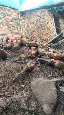 广西壮族自治区钦州市灵山县七彩山鸡 2-3斤