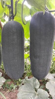 这是一张关于黑先锋85冬瓜 20斤以上 黑皮的产品图片
