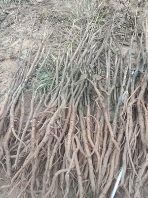 安徽省亳州市谯城区油用牡丹种苗 2cm以下 6~8cm 0.5米以下