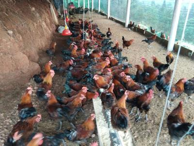 四川省雅安市名山区土鸡 公 4-5斤