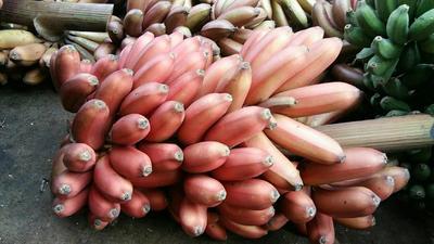 广西壮族自治区南宁市江南区火龙蕉 七成熟 70斤以上