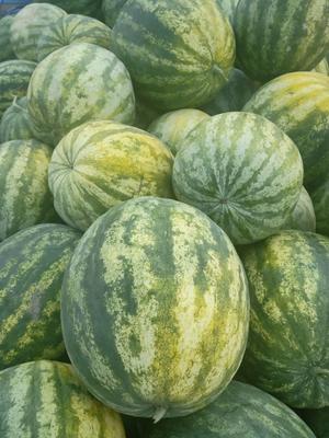 甘肃省白银市靖远县籽瓜 有籽 1茬 10成熟 4斤打底