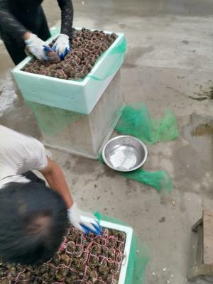 江苏省扬州市江都区生态大闸蟹 3.0-3.5两 母蟹