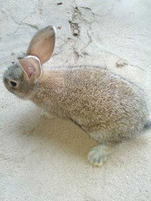 河南省周口市太康县比利时兔 1-3斤