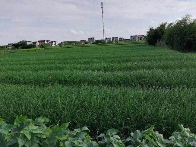 大叶韭菜 头茬 40~45cm