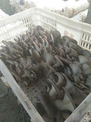 这是一张关于灰平菇 无异色斑点 6cm~8cm ≤5% 无杂质 鲜货的产品图片