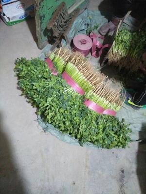 山东省聊城市东昌府区铁杆青香菜 20~25cm