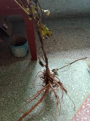 安徽省亳州市谯城区油用牡丹种苗 6~8cm 10~12cm 0.5~1米