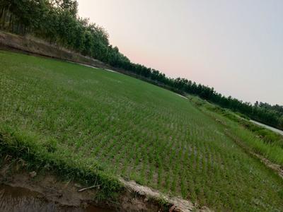 安徽省六安市霍邱县两优688 中稻