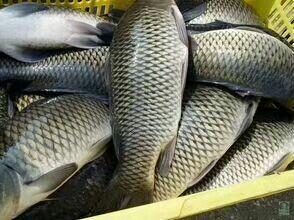 重庆铜梁区池塘鲤鱼 人工养殖 1.5-3公斤