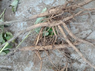 安徽省亳州市谯城区油用牡丹种苗 2cm以下 10~12cm 0.5米以下