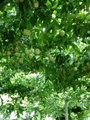 广西壮族自治区南宁市西乡塘区紫红色百香果 70 - 80克