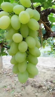 河北省张家口市怀来县牛奶葡萄 5%以下 1次果 1.5- 2斤