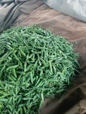 云南省大理白族自治州宾川县长寿仁豌豆 10-12cm 饱满