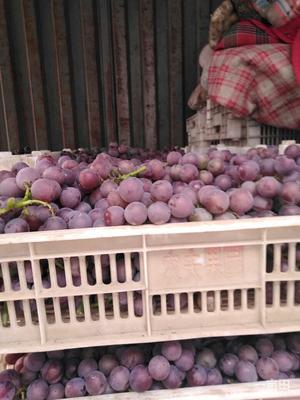 河北省邢台市柏乡县巨峰葡萄 5%以下 2次果 0.8-1斤